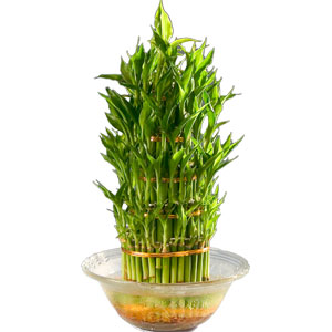Mesmerizing 3 Tier Bamboo Plant in Bowl