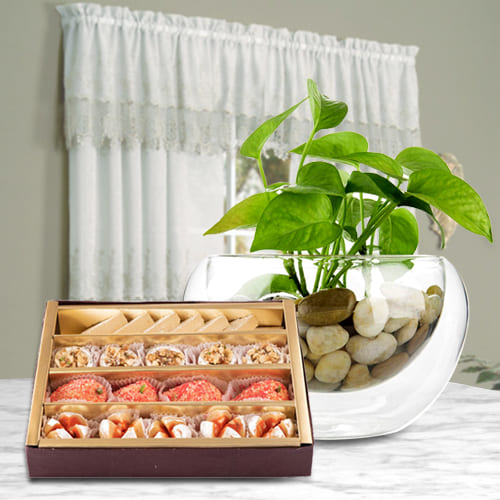 Splendid Combo of Haldiram Assorted Sweets with Money Plant in Glass Pot <br>