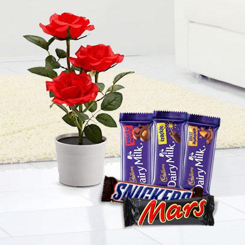 Flowering Rose Plant with Chocolate Assortment