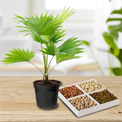 Exclusive China Palm in Plastic Planter with Dry Fruits Assortments