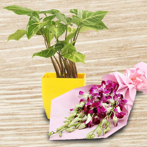 Decorative Gift of Indoor Syngonium Plant with Orchid Bunch