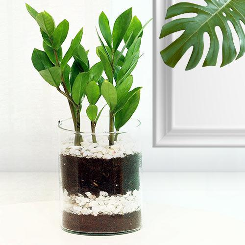 Bright Arrangement of Zamia Live Plant in Glass Pot
